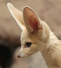 fennec artis 094A0031 (j.a.kok) Tags: animal artis mammal zoogdier dier vos fox fennek fennec fennecfoxfennecuszerdavulpeszerdavulpes predator