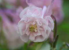 Nevena Uzurov - Weekend flower (Nevena Uzurov) Tags: flower aquilegia delicate petals pink garden beauty nevenauzurov serbia bokeh