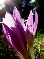 IMG_0066x (gzammarchi) Tags: italia paesaggio pineta natura ravenna marinaromea bosco fiore croco coppia poesia haiku