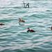 Papere sul Lago di Garda, Peschiera del Garda