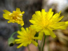The bright yellow ..... It is almost autumn now and these beautiful dandelions are still popping up allover the backyard ! (gilberteplessers) Tags:
