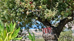 Ortsschild im Baum mit Früchten (Sanseira) Tags: griechenland greece lesbos lesvos petri schild tafel baum früchte