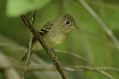 Hammond's Flycatcher (Martin Dollenkamp) Tags: vancouverisland birds flycatcher empidonaxhammondii hammondsflycatcher