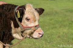 Hereford Dalfsen 2019-7513 (Josette Veltman) Tags: hereford dalfsen dutchherefordsociety overijssel vechtdal vecht nederland netherlands koeien cow animal catle vee keuring