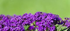 Flowerbed (mmichalec) Tags: flower flowers kwiaty kwiat nature natura plants rośliny fujifilm poland polishnature violet