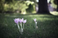 Hexanon 50mm 1.7 (Andahir) Tags: konica konicahexanonar50mm17 flower crocus fujixt3 fuji fujifilm floral xt3 manuallens mirrorless manualfocus botanicalgarden