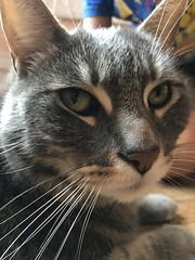Tiger, whiskers a plenty (artnoose) Tags: tabby cat grey gray whiskers tiger