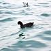 Papera sul Lago di Garda, Peschiera del Garda