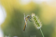 Cardinale alifasciate femmina (Sergio Stella) Tags: dragonfly libellula sympetrum odonata