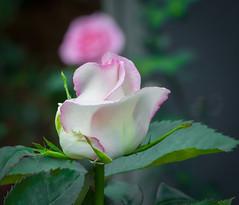 Wonderful Wonder. (Omygodtom) Tags: prim algorithm flower rose wonder natural macro bokeh oregon outdoors usgs flickriver