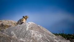 The Majestic Pika (Daveography.ca) Tags: rock majestic wildlife canmore rodent rockrabbit alberta rockymountains spraylakesreservoir canada pika spraylakes animal rockies