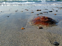Washed up. (Vicky Martí) Tags: outside beach scotland stromness pebbles sea ocean island orkney wildlife sealife jellyfish waves shore olas playa escocia washedup