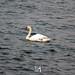 Cigno sul Lago di Garda, Peschiera del Garda