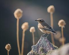 Traquet motteux (Pauline Moinereau) Tags: bird muscicapidae muscicapidés northernwheatear oenantheoenanthe oiseau passériformes traquetmotteux passereau passerine