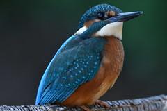 martin-pêcheur / Alcedo atthis 19D_9195 (Bernard Fabbro) Tags: alcedo atthis martinpêcheur eisvogel kingfisher oiseau bird