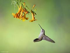 Ruby-thoated Hummingbird (anthonylouviere) Tags: bird birding rubythroatedhummingbird