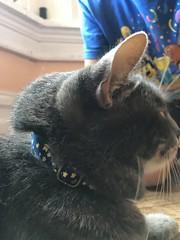 Tiger's new collar (artnoose) Tags: tabby etsy vintage very collar cat grey gray tiger