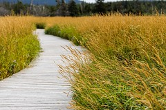 On the Boardwalk (Karen_Chappell) Tags: trail path park nfld bidgoodpark goulds stjohns grass curves curve nature outdoors newfoundland canada atlanticcanada avalonpeninsula canonef100mmf28usmmacro green yellow