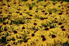 In a crowdeed field.... (Joe Hengel) Tags: inacrowdedfield vermont burlingtonvt burlington summer summertime flowers flower garden