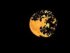 Friday 13th Harvest moon (clickclique) Tags: moon silhouettes black leaves moonrise harvestmoon orange yellow night tree