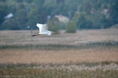Great egret (aixcracker) Tags: greategret egret jalohaikara ardeaalba bird fågel lintu ruskis borgå porvoo suomi finland nikond3 september syyskuu höst fall autumn syksy nature natur luonto europe europa eurooppa