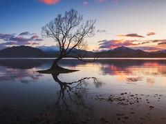 That Wanaka Tree (S W Mahy) Tags: wanaka tree new zealand lake morning dawn reflections peace sunrise tranquil