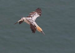 Bempton Cliffs, East Yorkshire, UK (Dave913) Tags: young gannet inflight