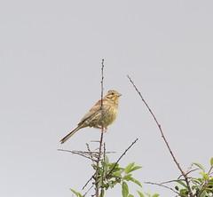 Cirl Bunting (WiltsWildAboutBirds) Tags: cirlbuntings coast countryside farmland devon bunting southwestbirds wiltswildaboutbirds emberizacirlus passerine