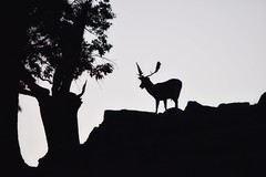 Deer landscape silhouette in monochrome! (Nina_Ali) Tags: blackandwhite tree nature monochrome landscape leicestershire deer atmospheric bradgatepark night dusk