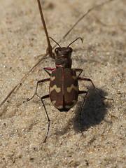 Dünen-Sandlaufkäfer (Cicindela hybrida) (1) (naturgucker.de) Tags: ngidn722414795 cicindelahybrida dünensandlaufkäfer