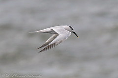 Sea Bird Selection (Dougie Edmond) Tags: saltcoats scotland unitedkingdom sea bird nature wildlife