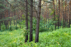 Trees in Siberian pine forest (man_from_siberia) Tags: canon eos 5d dslr canoneos5d canon5d canon5dclassic fullframe canonef24mmf28isusm primelens trees pineforest forest nature siberia russia сибирь россия 2019 лето июль summer july бор сосновыйбор сосны деревья природа лес outdoors outdoor green greenery