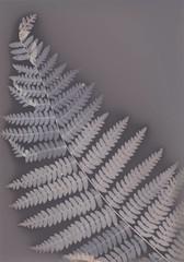 (katwardphoto) Tags: analog experimentalphotography cameralessphotography botanicalphotography botanicalart alternativeprocess alternativeprocesses altprocess lumenprint lumenprinting contactprint photogram nature autumn fern ferns plants plant