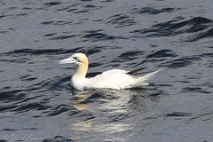 Gannet (Dougie Edmond) Tags: isleofarran scotland unitedkingdom sea bird nature wildlife