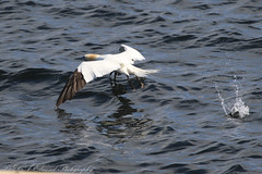 Gannet (Dougie Edmond) Tags: sea bird nature scotland unitedkingdom wildlife isleofarran