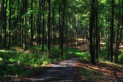 In the Beech Forest (Wojttek) Tags: beechforest forest zachodniopomorskie poland