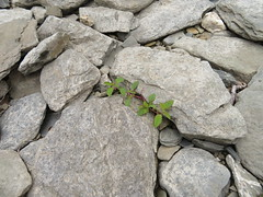 Grün zwischen Steinen (Bea tedo) Tags: grün green pflanze plant natur steine stones schotter schiefer rheinufer deutschland germany