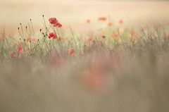Un soir de juin caniculaire (Nicole Barge) Tags: poppy poppies poppyfield coquelicots pavots coquelicotsrouges redpoppies evening soir juin june canicule 2019 grezsurloing chaleur heat hotseason mohn