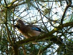 P1000407 Jay (Photos-Tony Wright) Tags: brownsea island trip dorset uk september 2019 wildlife jay bird