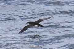 Manx Shearwater (Dougie Edmond) Tags: scotland unitedkingdom sea bird nature water ferry boat wildlife