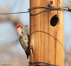 Cardinal woodpecker (johnthistle) Tags: canon woodpecker wild tree nest home green red brown nature 7dmkii 100400mm krugernationalpark fence avian fencepost africa
