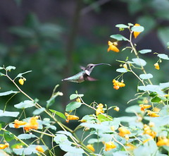 ruby-throated hummingbird with tongue out (madeofchalk) Tags: rubythroatedhummingbird hummingbird birdphotography birdwatching theovenincentralpark centralpark centralparkramble canon canonphotography canon6d