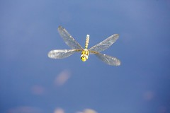 Southern Hawker in flight (ejwwest) Tags: