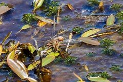 Raft spider devouring common Darter (ejwwest) Tags: