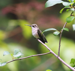 ruby-throated hummingbird resting on branch (madeofchalk) Tags: rubythroatedhummingbird hummingbird centralpark theovenincentralpark centralparkramble canon canon6d canonphotography birdphotography birdwatching