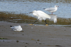 Little egret:  13.9.19. (VolVal) Tags: dorset bournemouth hengistburyhead bird wader littleegret lagoon september