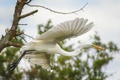 I don't know where I'm going, but, I'm on my way.... (crziebird) Tags: egret greategret bif bird birds birdsinflight flight bombayhook delaware feathers