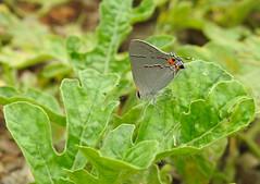 Gray Hairstreak - Strymon melinus - in the Garden (annette.allor) Tags: strymonmelinus gossamer wings buttterfly gray hairstreak vegetable garden