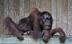 Strike a pose (rlt64) Tags: orangutan borneo endangered wildlife nature primates