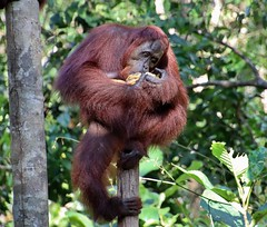 Mine, all mine! (rlt64) Tags: orangutan nature wildlife borneo endangered primates